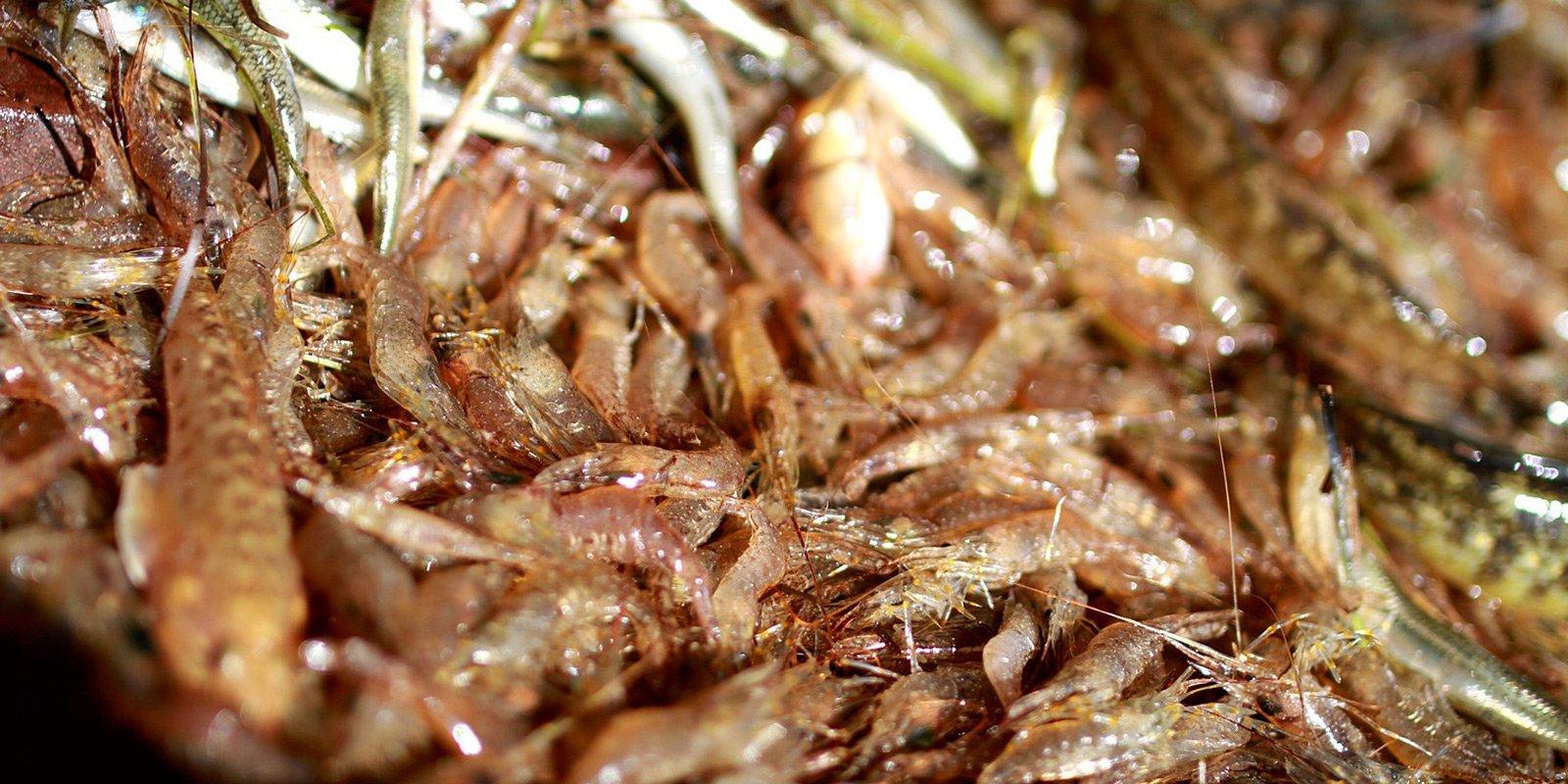 Серед мешканців моря варто відзначити кам'яну та трав'яну креветки та два десятки видiв крабiв.