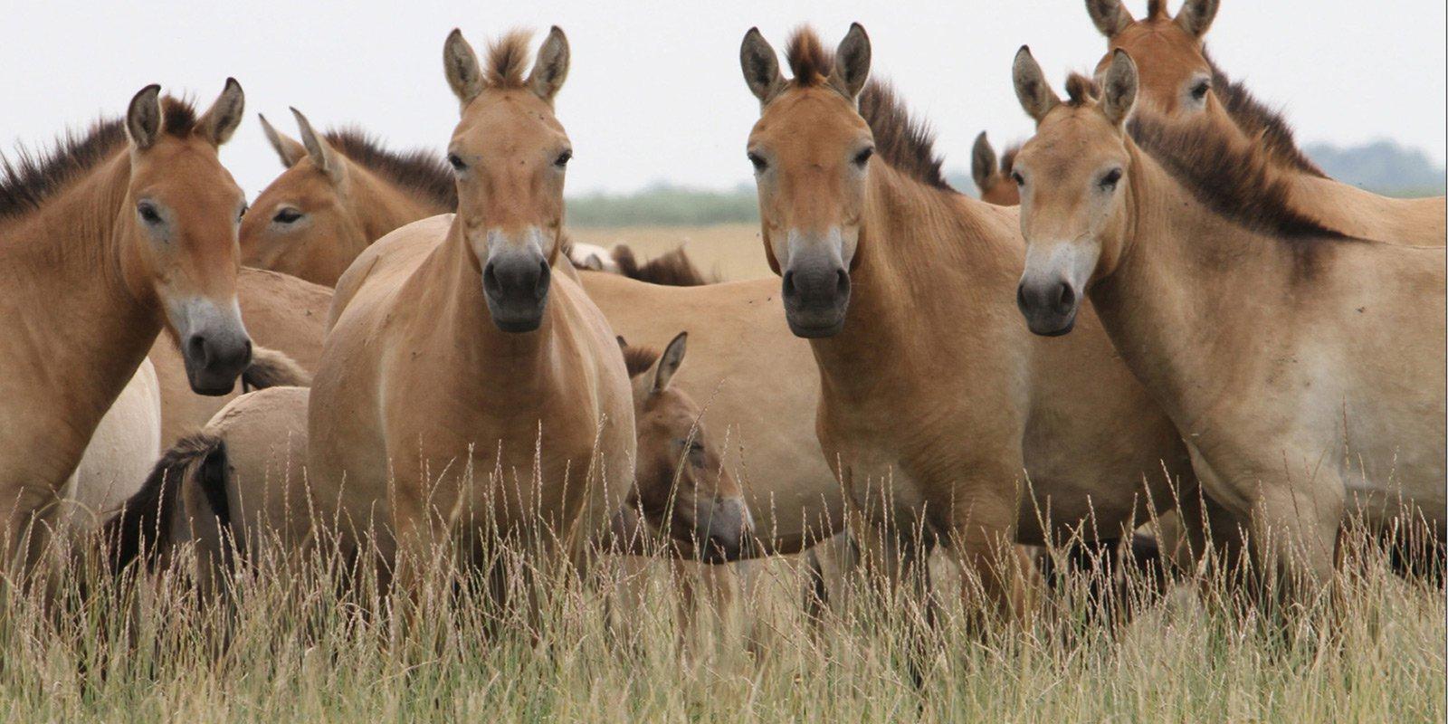 Асканія-Нова зберігає найчисленнішу     в світі групу коней Пржевальського (6% усього світового поголів'я)