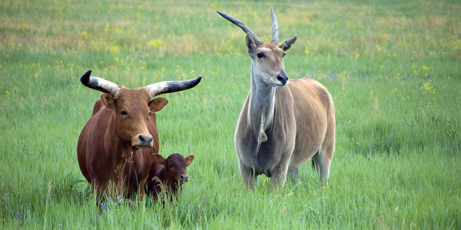 Численні стада копитних живуть   в умовах майже повної свободи,     пасуться собі спокійно на широких пасовиськах.
